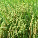 giải mã hoàn chỉnh hệ gen của cây lúa