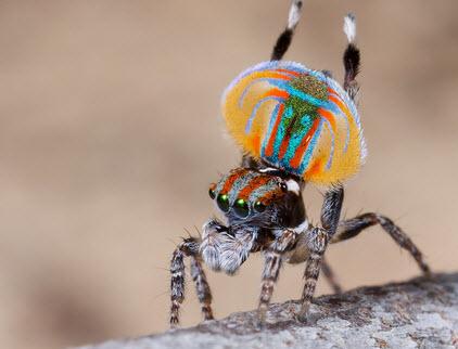 loài nhện Peacock Spider